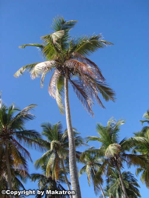 Coconut tree by Makatron