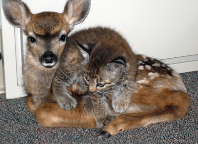 allcreatures:  lovehaight: Bobcat and Fawn Find Friendship after Fire