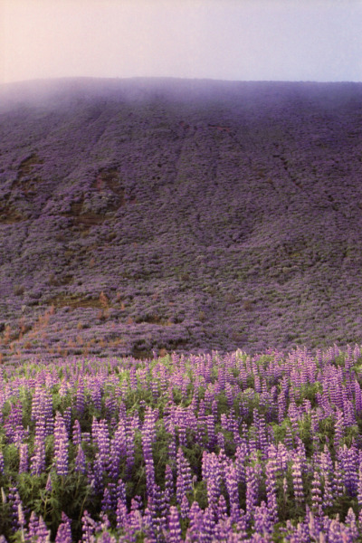 travelingcolors:  Botnsvatn Lupines | Iceland (by Lighthouse Keeperess)