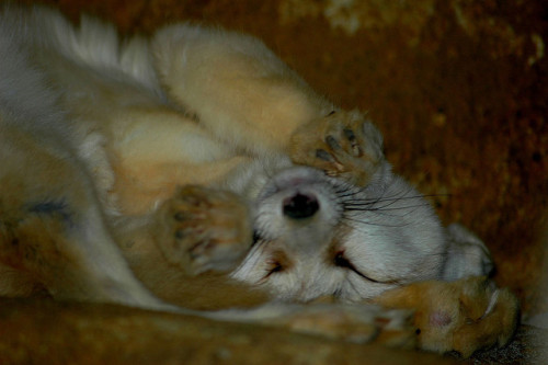Sleeping fennec fox by Whitney GH on Flickr.