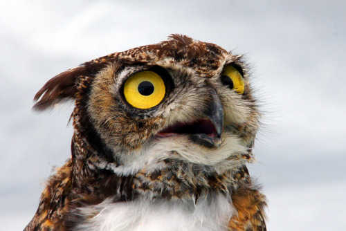 "thefluffingtonpost:  Owl Refuses to Reveal Tootsie Roll Pop Secrets It is one of the most closely guarded secrets in the candy industry: how many licks does it take to get to the center of a Tootsie Roll pop? Though the company's official stance is that the number varies and ""the world may never know,"" the secret of the actual number of licks was entrusted to a great horned owl in 1970. Now just a few days away from retirement, many in the candy world hope that he might finally reveal the number. ""Nope, I'm sure that information is going with him to the grave,"" said Tootsie Roll historian, Reginald Fairchild. ""Even in retirement, I wouldn't place bets that he'll ever reveal that secret."" Still, candy industry watchers think there is a good chance that the owl will decide to write a memoir, which could at least hint at the actual number of licks it takes to reach the chocolatey Tootsie Roll center. Via Greg Lilly Photos."
