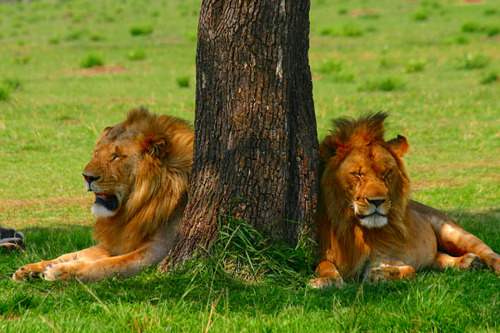 two male lions share a tree for shade, masai mara, kenya.
