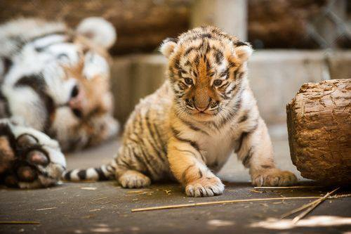 martlna:  zooborns:  Pittsburgh Zoo's Amur Tiger Cub Gets His First Check-Up  The Pittsburgh Zoo's Amur Tiger cub, born on Easter, recently recieved his first vet check-up.  Learn and see more - including a video of the baby Tiger's vet visit - at ZooBorns!  GOD