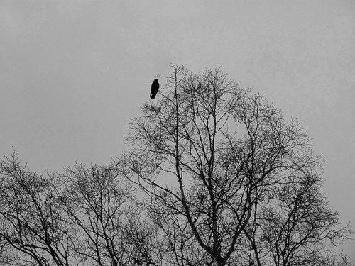 A crow. on Flickr.