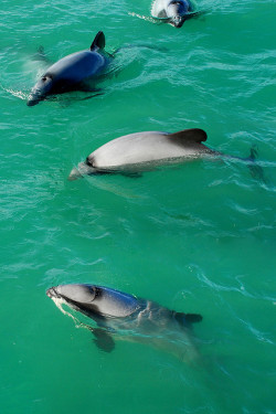 marinemammalblog:  Hector's Dolphins by geoftheref on Flickr.