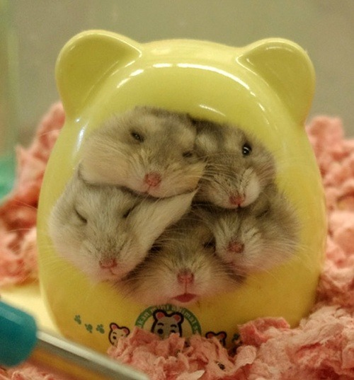 h3ters-g0nna-hat3:  run the world / Hampsters! on @weheartit.com - http://whrt.it/WB81YI