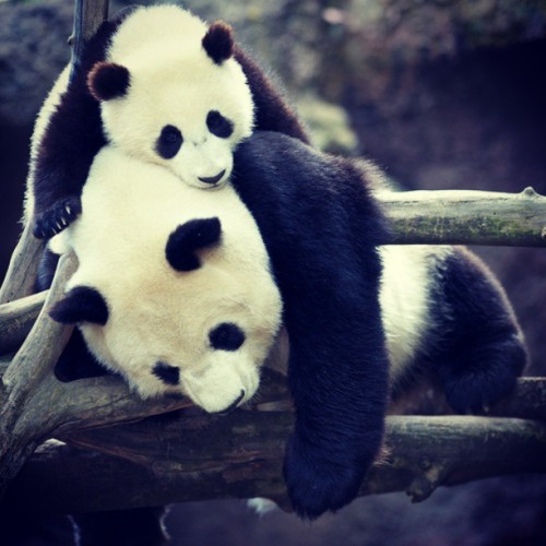 andripratama07:  #panda #animal .