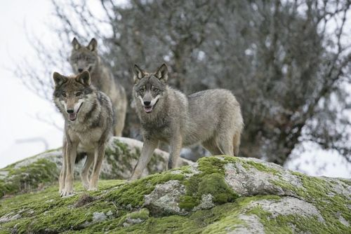 canidcompendium:  A pack of Iberian Wolves (C. lupus signatus). Spain's wolf population is estimated at 2,000 and growing. Wolves are considered a game species, though they are protected in the southern regions of the country. Compensation is paid for livestock damage, though this varies according to regional laws. (via Wikipedia)