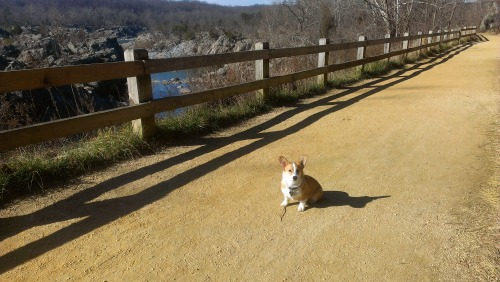 corgiaddict:  Snuggly Beddy poses at Mather Gorge.