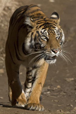 mystic-revelations:  Sumatran Tiger By Official San Diego Zoo