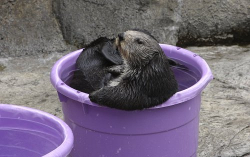 Lovin' life in a bucket! Enter for a chance to win a behind-the-scenes tour in our Countdown to Cuteness Facebook contest.  Our sea otter exhibit re-opens March 23!  Check it out via your Desktop.  Via your mobile.