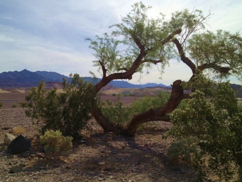 Mesquite tree. Death Valley. CA.
