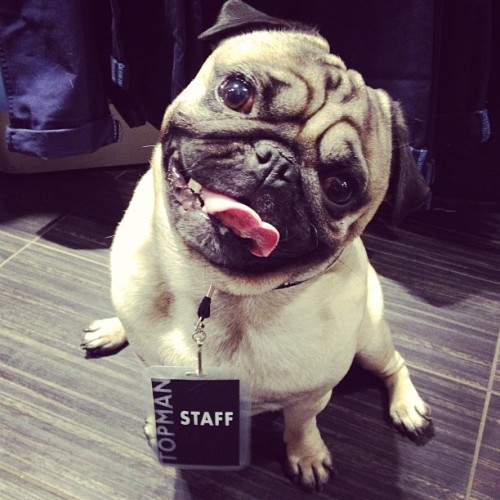 "Pug Lands Dream Job as Bouncer for Taylor Swift JJ, a pug from Nashville, TN, has landed his dream job: he's going to be on the security team for Taylor Swift's summer tour.  ""Oh, he's in heaven,"" said friend Kathy Muñoz. ""He's a huge Swifty and now he's going to be on her staff!"" According to Muñoz, the dog will be in charge of making sure no unauthorized concert attendees get back stage during the shows. Via pugrasputin."
