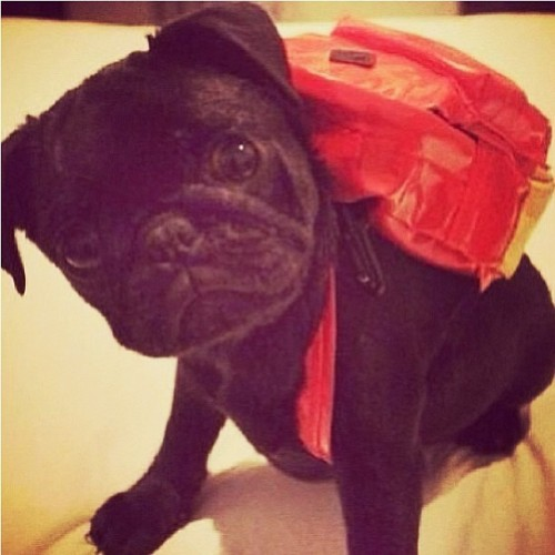 crystalizedspace:  Oh my goddddd. #puppy #pug #backpack #dog