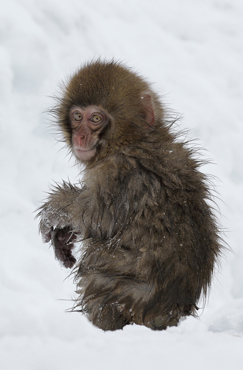 vurtual:  WET BABY (by Lee Fisher) This baby snow macaque looks out for it's mother as it leaves the hot springs and heads back into the mountains.