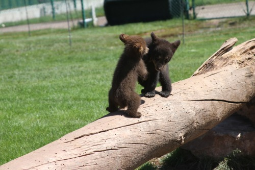 kk-hodges:  Awww…today's baby bear picture. :)