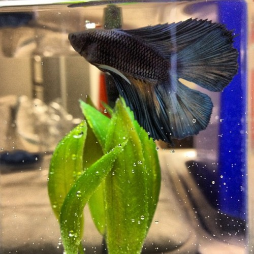 Meet my newest creature, King Zora. He is a double tail Betta and the prettiest of blues.