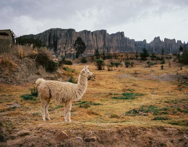 one more llama #llama#bolivia#alkamari#south america#travel#medium format#120 film#plaubel makina#kodak#portra#animal#mountains#la paz#lensblr #photographers on tumblr #saleem ahmed#original content#6x7#analog#film#profile#landscape#nature#pachamama