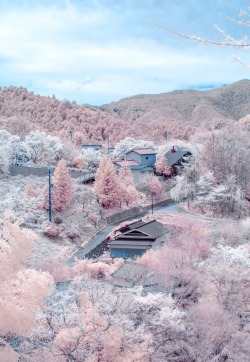 beatpie:  Cherry blossoms in full bloom at Mount Yoshino, Nara, Japan