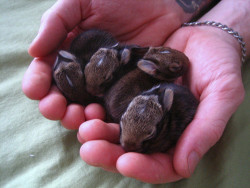 kurtlechan:  Handful of bunnies.
