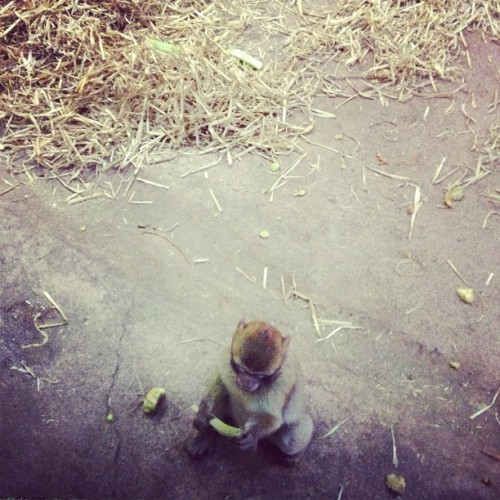 Tiny baby monkey #edinburgh #edinburghzoo #zoo #monkey #baby #tiny #cute #gold #instadaily