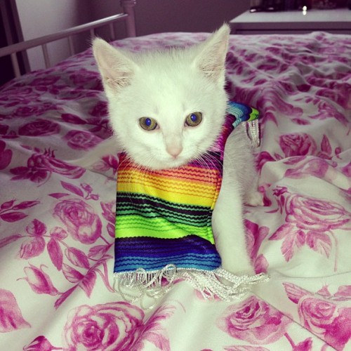 alyssagabriele:  Happy cinco de mayo! 🍻😻💃 #kitten #cincodemayo