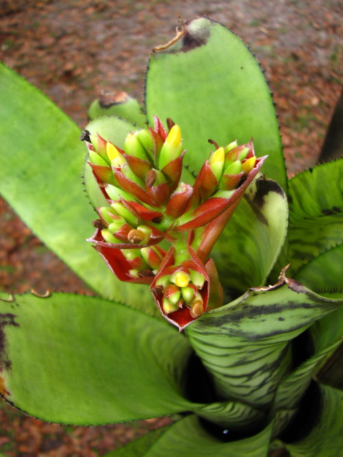 Scientific Name - Aechmea 'Bert'Common Name - NonePlace of Origin - Man Made HybridStatus - Not threatened  This is a great aechmea, if you have the space for it. Individual plants mature at just over 18 inches tall and 10 inches wide, in full sun. Leaves are stiff and have small black spines on the margins. In more shade you'll have leaves that arch more and a more open rosette.  It's a hybrid between Aechmea orlandiana and Aechmea fosteriana, both are similar plants, and the result is a plant that has the best qualities of both. The size of Aechmea 'Bert' comes from the fosteriana parent, the inflorescence resembles orlandiana more, but the patterning comes from both parents. Both parents form their pups on stolons, but are slow growers and don't pup often. However, with this hybrid you get plenty of pups in a short amount of time, forming large clumps in a few years.  Due to its stoloniferous habit, it is best grown as an epiphyte in trees where the climate permits, or mounted on wood as my clump is. My clump was started from two mother plants, which each had one pup, two years ago. Now there are six plants, with more pups forming.