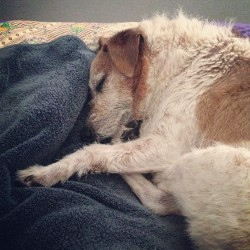 Someone is sooo incredibly sleepy today. #foxterriers #love #dogstagram #dogmom