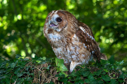wingedpredators:  Tawny Owl (Photo by Richard Varian)
