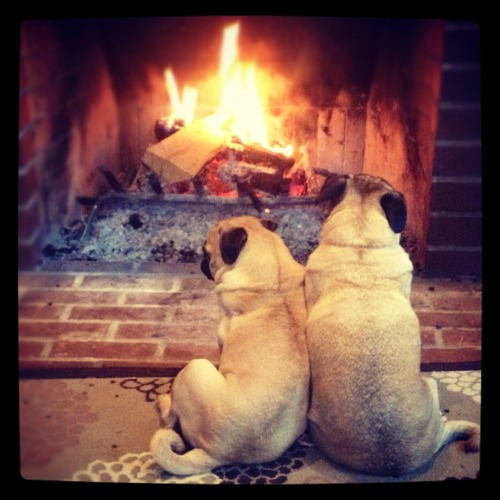 mypugobsession:  Biscuit and Ferrzy cuddling by the fire.