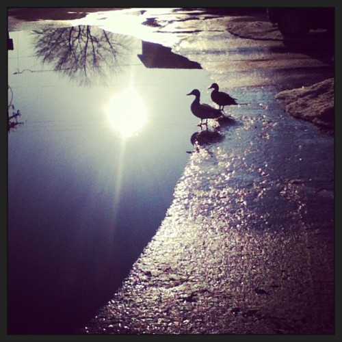 The cute duck couple that is living in the giant puddle in my parents apt. Parking lot! #ducklove