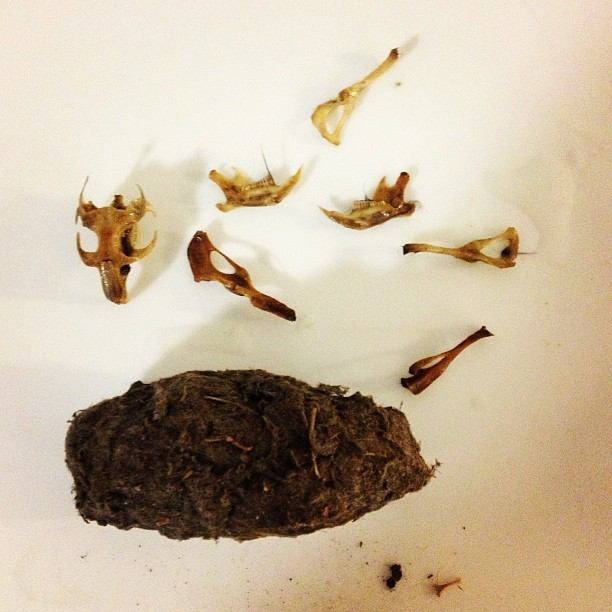 Finally pulling apart these Owl pellets given to me by a friend while back ago. Look what one had inside! #RAW-SEWAGE #BONES #DEAD #vow #RAWSEWAGE #RECYCLED_BONES