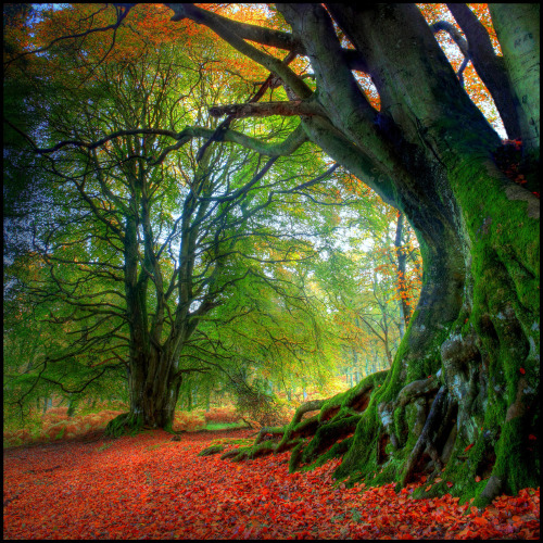 Autumn Beech (by angus clyne)