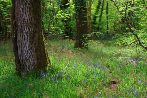 landscape nature trees flowers curators on tumblr bluebells moss forest photoset