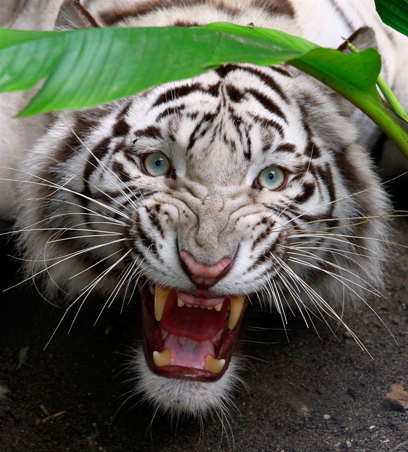 magicalnaturetour:  Indira, a blue-eyed Bengal tiger. Photo by Jaimie Saldarriaga / Reuters :)