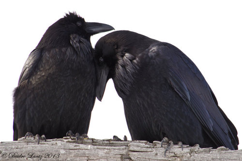 iheartcrows:  Raven cuddles by *DeeOtter
