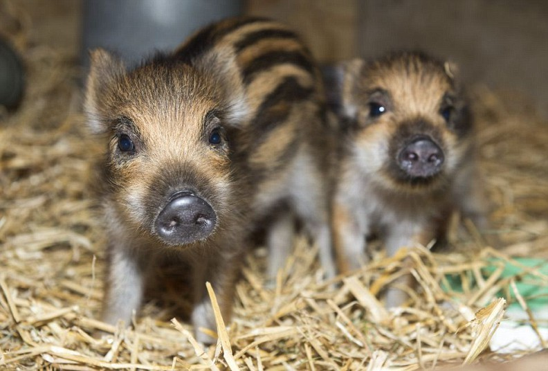 theanimalblog:  Wild Boar Piglets are photographed at Whipsnade Zoo.  Picture: Paul Grover