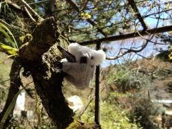 The Koala population in #Nikko #Japan is a little out of control. 🐨 Thank you Coral, Jim & Oliver