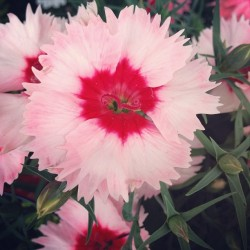 Darling Dianthus #dianthus #flower #blooms