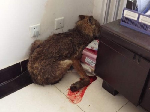 A wolf injured by poachers that escaped and found its way into a government office building in Qinghai province, China. The animal was sent to the provincial animal administration bureau in Xining where it's injuries could be treated until it was fit for release.  (Source)