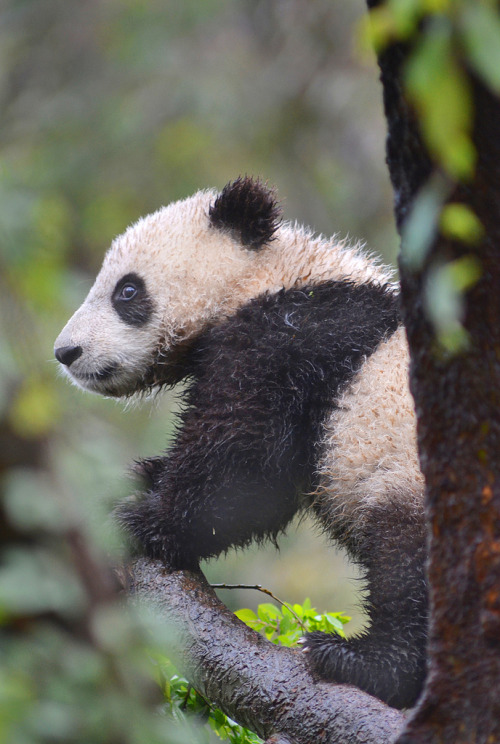 giantpandaphotos:  Xiao Liwu at the San Diego Zoo, California, on March 8, 2013. © Stinkersmell.