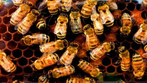 EU bans bee-harming pesticides … will U.S. wise up and follow suit? In a landmark decision, Europe restricts a popular pesticide linked to declining honeybee populations. One would hope this would light a fire under the EPA's you-know-what.