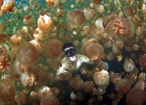 michaelgeorgiou:  At Jellyfish Lake in the Pacific island of Palau, its safe to swim amongst millions of jellyfish, because the creatures have lost their sting