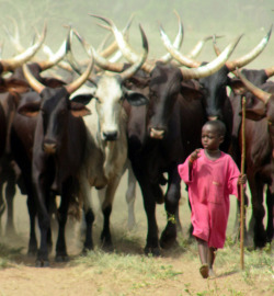 africa cows Afrique ghana Burkina Faso fulani cow boy cow herding