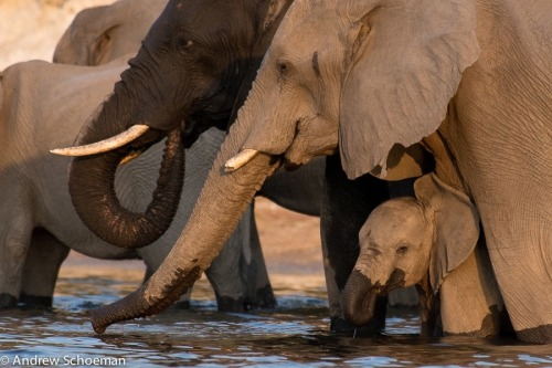 "phototoartguy:  A Drink With Mom by Andrew Schoeman. From Andrew: ""A Young Elephant Calf having a afternoon drink safely with its mom and the rest of the herd, photographed on the Chobe river on Safari with ODP Safaris.The Chobe River is amazing to see huge herds of Elephants and a birdwatchers paradise! Join me on a Safari."" More information about Andrew:   andrewschoemanphotography Thank You, Andrew, for your Permission to post your Photograph."