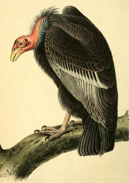 rhamphotheca:  California Condor from The birds of America : from drawings made in the United States and their territories, by Audubon, John James, and Bowen, John T. (1844)