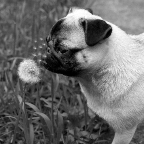 love-for-pugs:  this is adorable