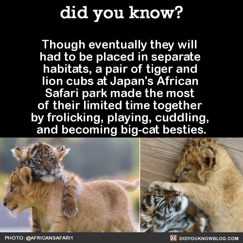 ANIMALS & NATURE FACT lion cub tiger cub baby animals bffs besties bug cats japan african safari park dawww