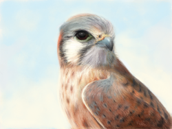 "madewithpaper:  Realistic rendering of a kestrel on Paper, ""made on an iPad Mini with my stubby working-class fingers."" by tonycomley  My Kestrel is complete! He was forged with an iPad app called Paper, which I love because it taunts me with a small but splendidly formed range of brushes. Drawing for me is part puzzle solving, so it's inspiring to be given a specific set of tools to try and outwit. I copied from this photo. For the Paper literate; I made this by layering increasingly light pencil strokes on top of a wash, then improvising haphazardly when that didn't work. It was made on an iPad Mini with my stubby working-class fingers…(Read more)"