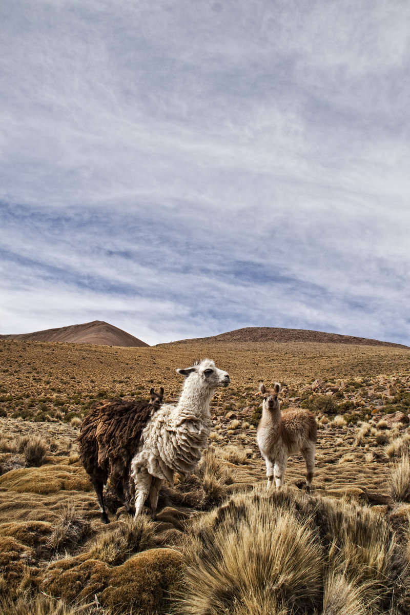 earth-song:  Llamas by ~geno-sulum